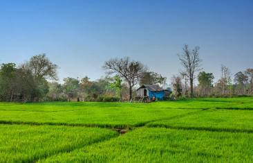 Trồng lúa Nước ở Tây Nguyên Rice cultivation in the Highlands