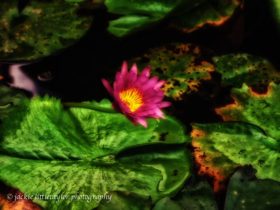 water lily red impression Midnight