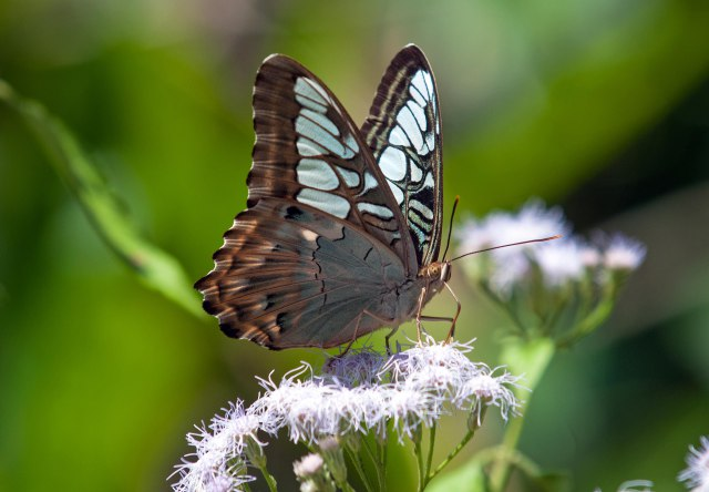 Clipper (Parthenos sylvia apicalis) feeding on flowers with stylet showing