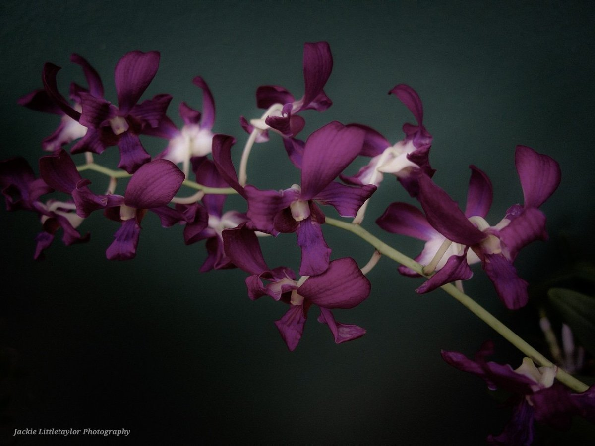 Purple Orchid by jackie